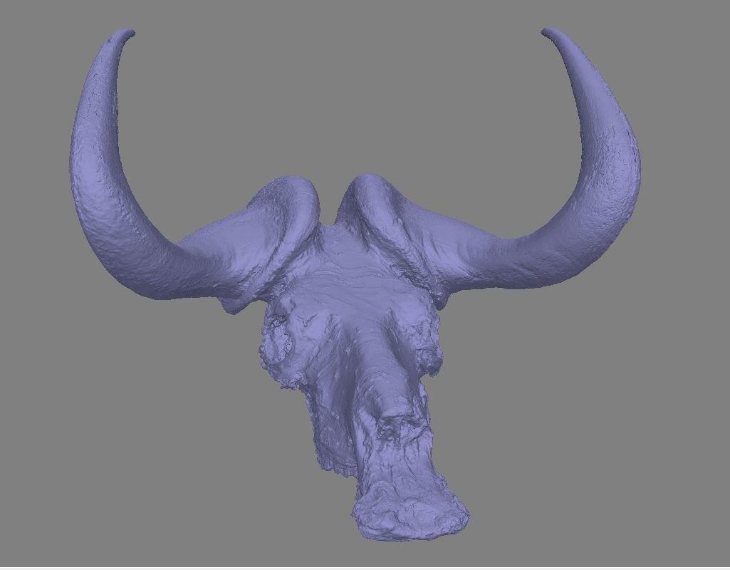 3D model buffalo skull raw scan
