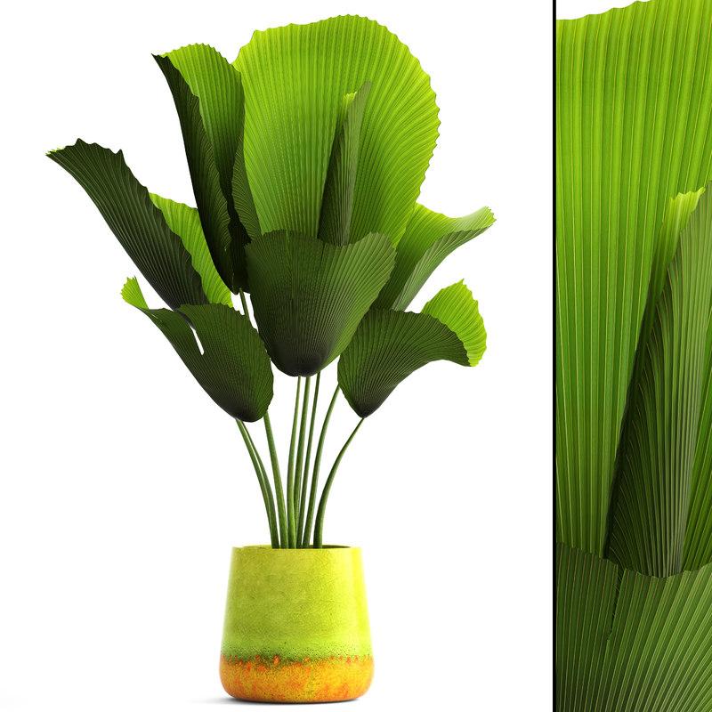 3D model licuala palm