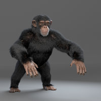 chimp chimpanzee 3D