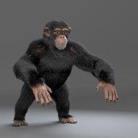 Chimpanzee- Maya