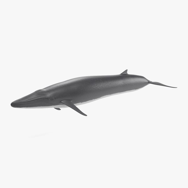 3D fin whale rigged