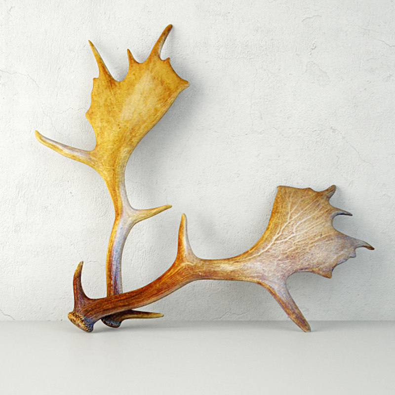 3D model naturally shed moose antlers