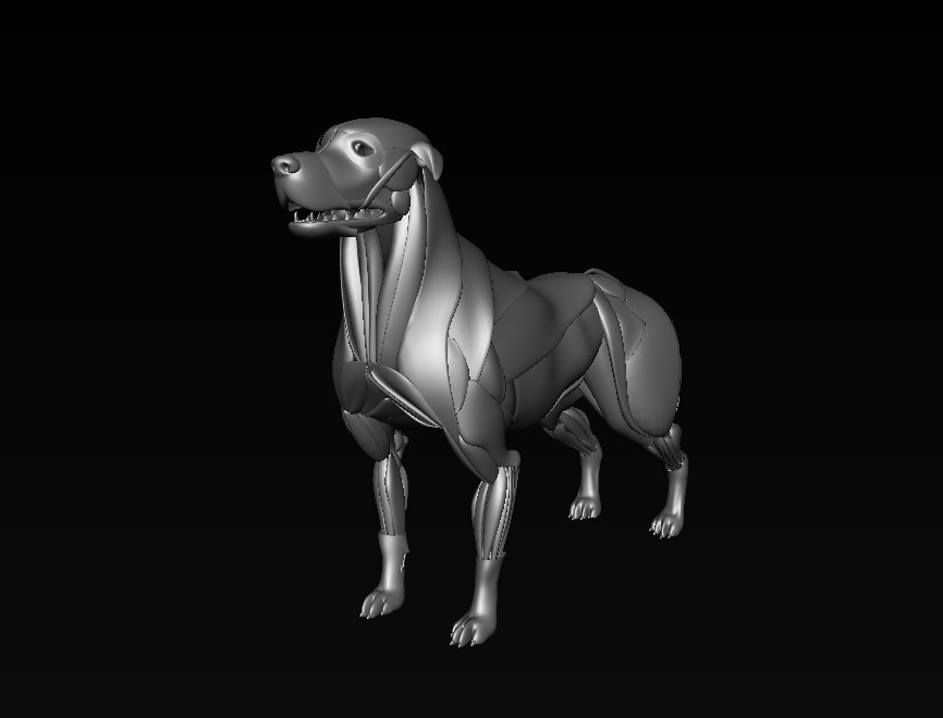 3D dog muscle model