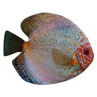 3D model discus fish