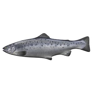 3D model atlantic salmon