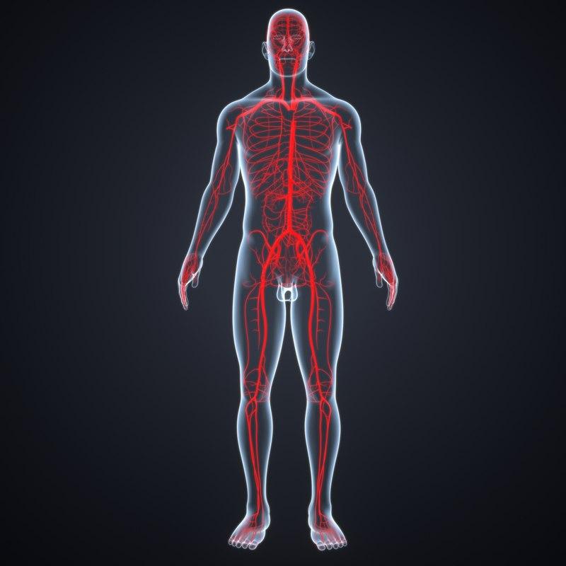 3D body arteries model