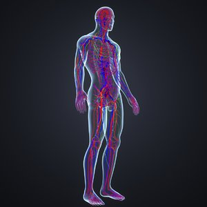 body arteries veins 3D model