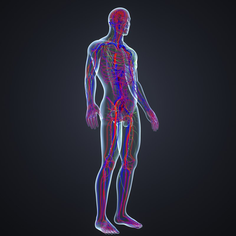 Body arteries veins 3D model - TurboSquid 1216981