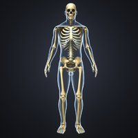 body skeleton 3D model