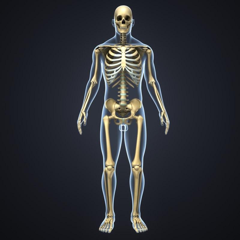 body skeleton 3D model