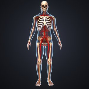 3D body skeleton arteries model