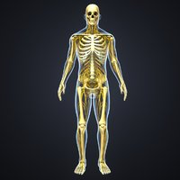 3D model body skeleton nerves