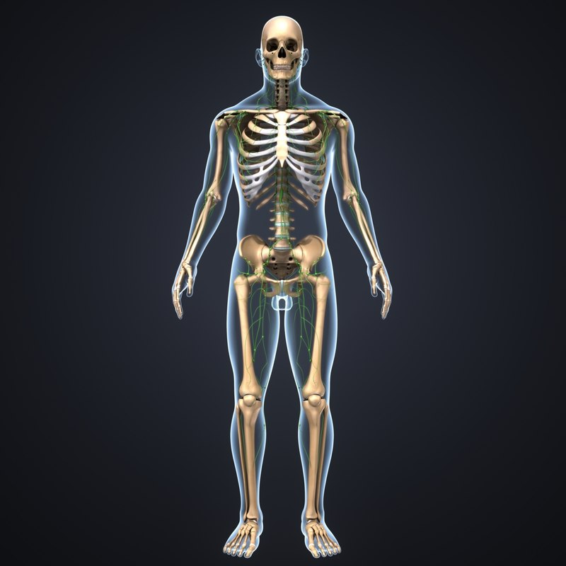 body skeleton lymph model