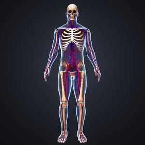 body skeleton arteries 3D