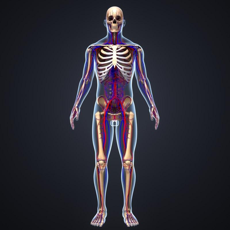 body skeleton arteries 3D