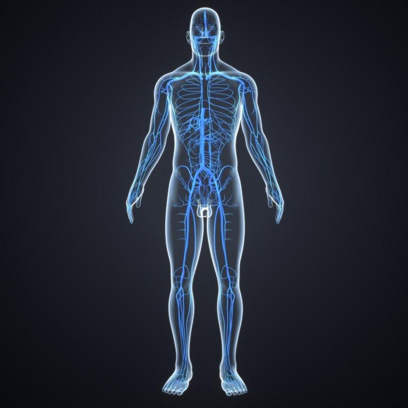 body veins 3D model