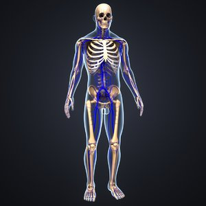 3D body skeleton veins