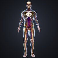 Body with Skeleton, Arteries, Veins, Nerves and lymphnodes