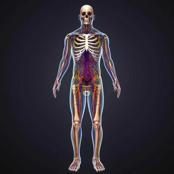 3D body skeleton arteries veins model