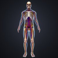 body skeleton arteries veins 3D model