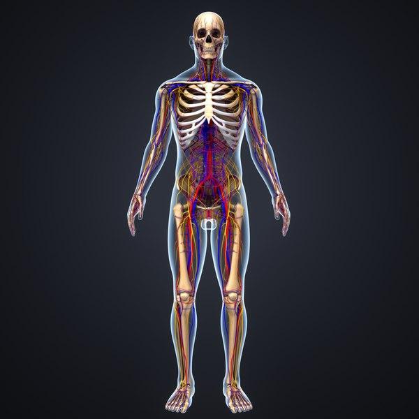 body skeleton arteries veins 3D model