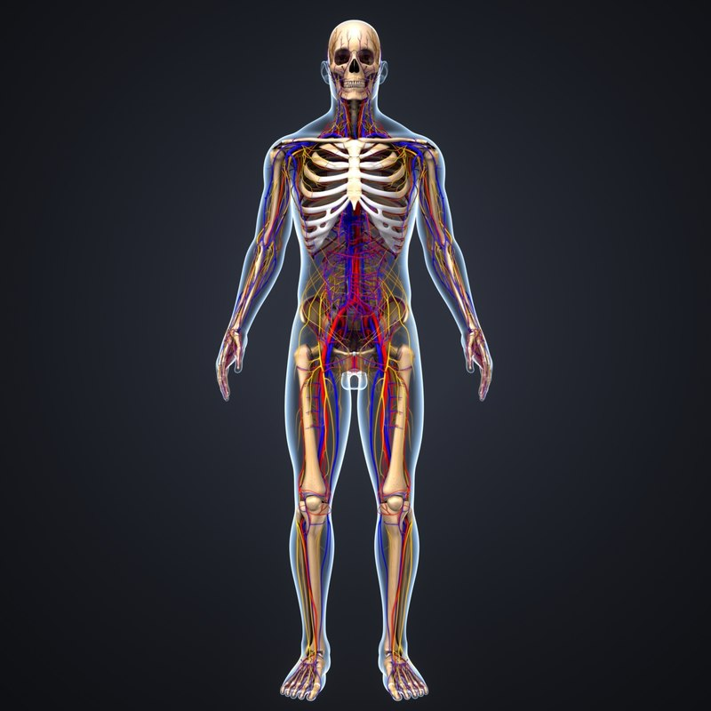 Body Skeleton Arteries Veins 3d Model Turbosquid 1216994