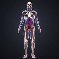 Body with Skeleton, Arteries, Veins and Lymphnodes