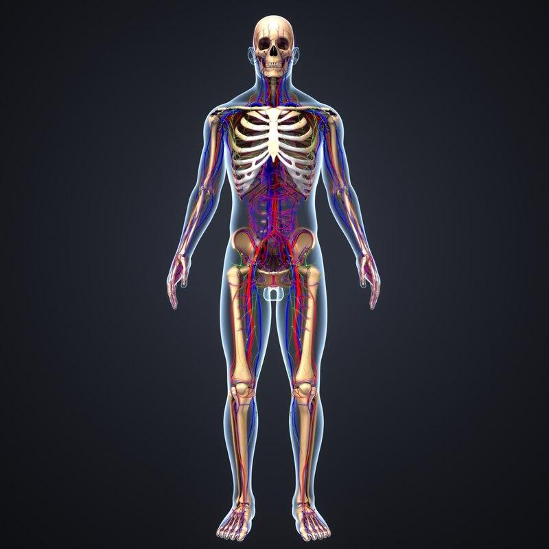 body skeleton arteries veins 3D
