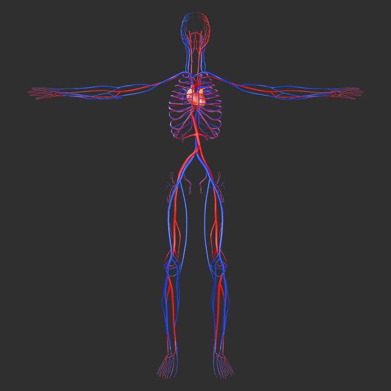 human circulatory - 3D
