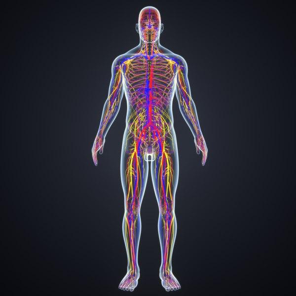 body arteries veins nerves 3D model