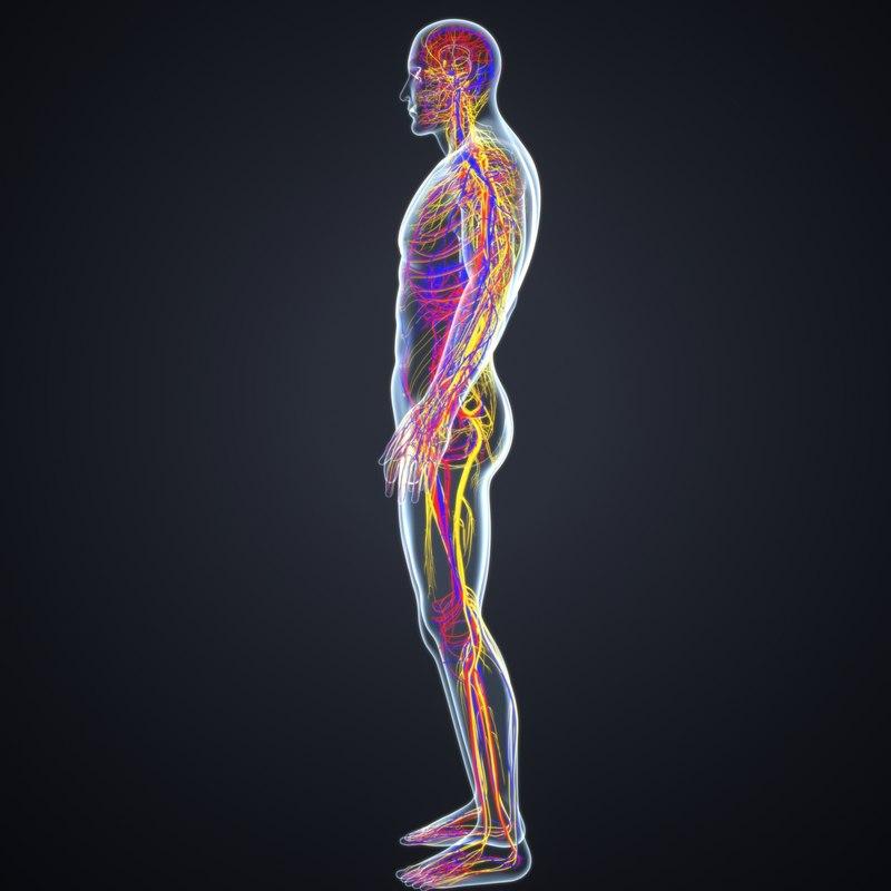 Body arteries veins nerves 3D model - TurboSquid 1217102