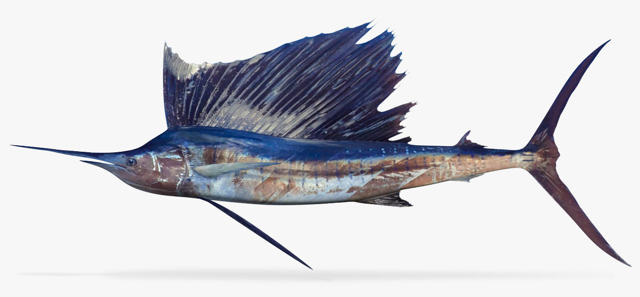3D model sailfish sail fish