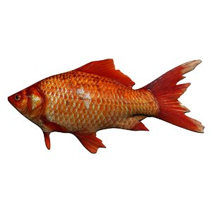 goldfish fish aquarium model