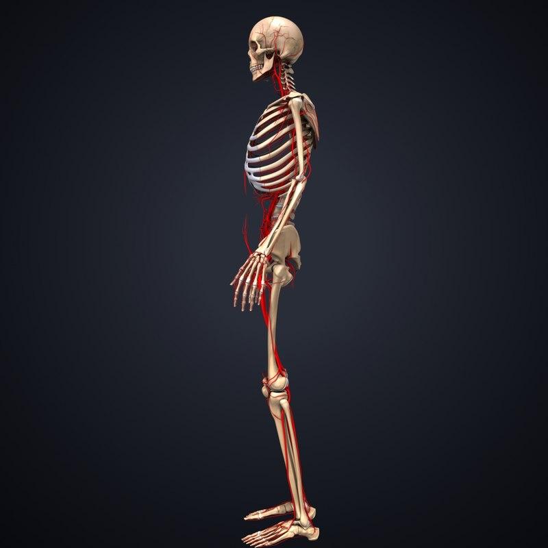 3d Skeleton Arteries Model Turbosquid 1217412