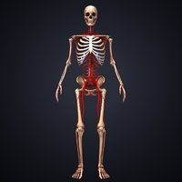 3D skeleton arteries model