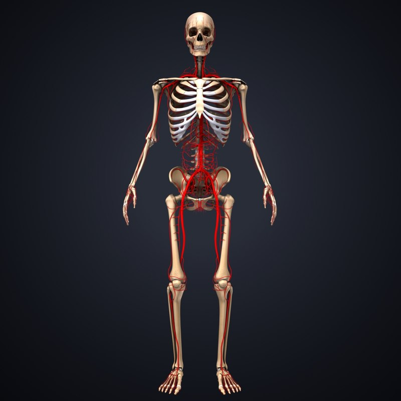 3D skeleton arteries model - TurboSquid 1217412