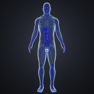 body veins lymphs 3D model