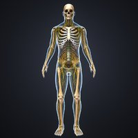 3D body skeleton nerves model
