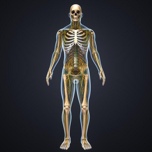 3D body skeleton nerves model