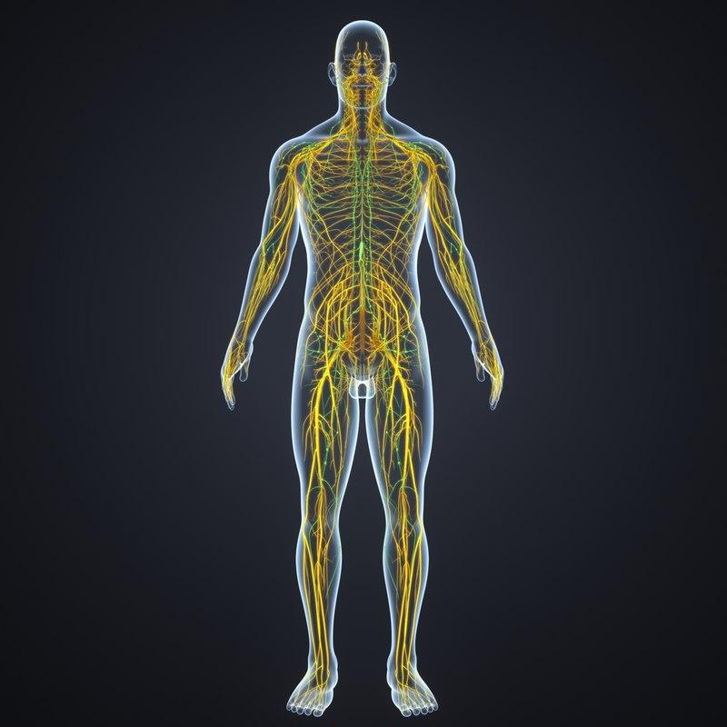 body nerves lymph model