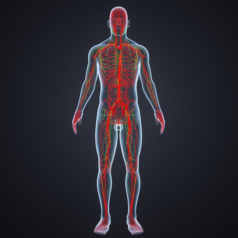 3D model body arteries lymphs