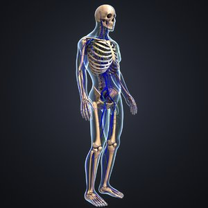 3D body skeleton veins lymph model