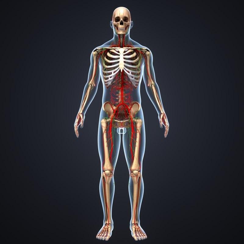 skeleton body arteries lymph model