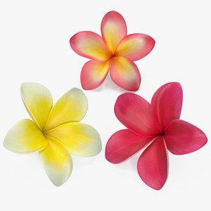plumeria flower 3D model
