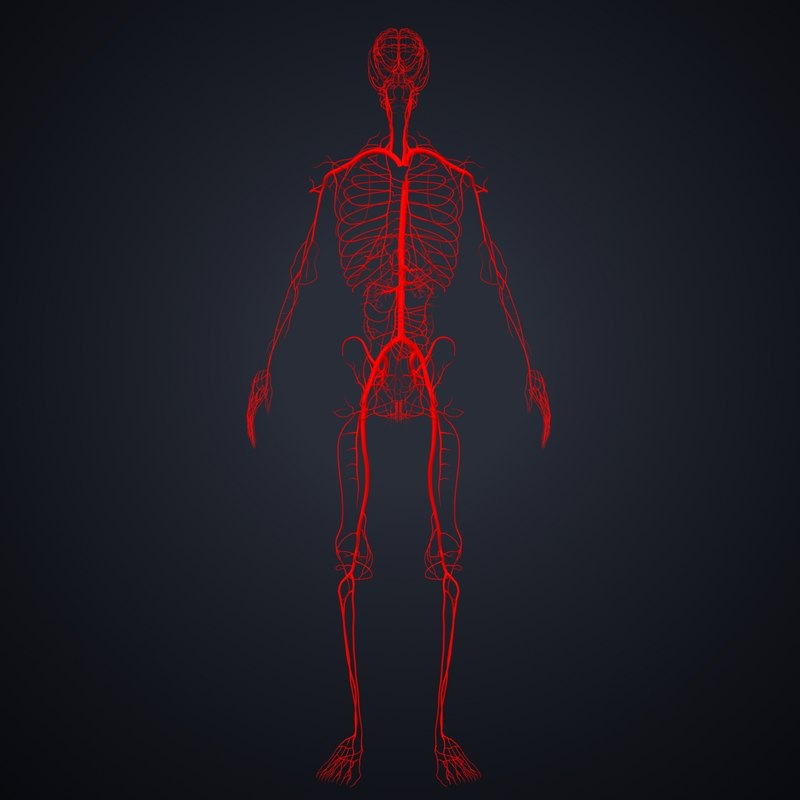 arteries 3D