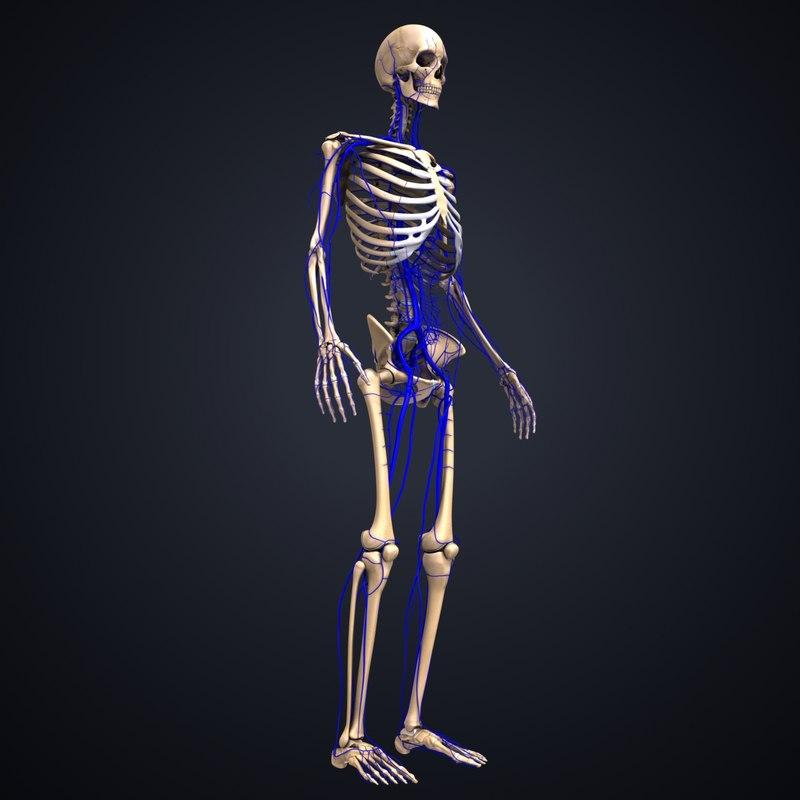 skeleton veins 3D model