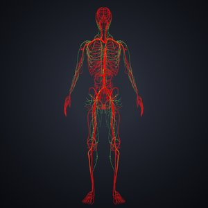 3D arteries lymph