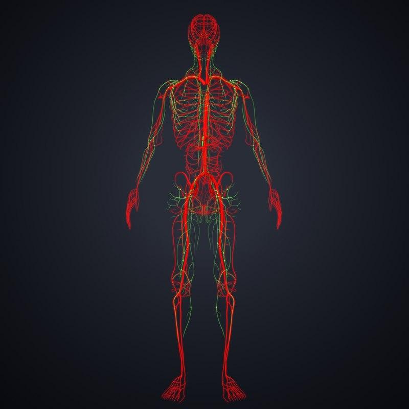3D arteries lymph