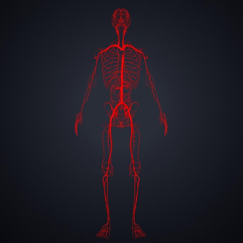 arteries veins model
