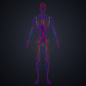 arteries veins lymph 3D model